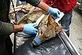 Wild female red wolf receiving a new radio collar (7747946410).jpg