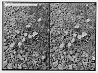 Wild flowers of Palestine. Shaggy convolvulus (C. hirsutus Stev.). LOC matpc.02434.jpg