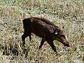 Wild young boar in Burgundy, France.jpg