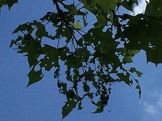 Winter moth - Image: Winter Moth Leaf Damage