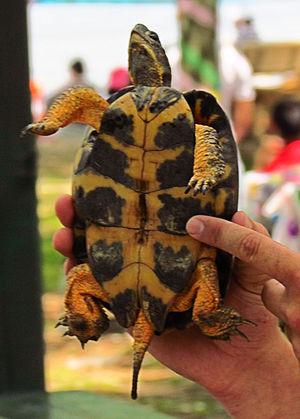 Wood turtle - Image: Wood Turtle, male, plastron