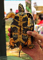 Wood Turtle, male, plastron.jpg