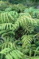 Woodwardia orientalis kz1.jpg