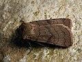 Xestia sexstrigata - Six-striped rustic - Земляная совка темноватая (40203871585).jpg
