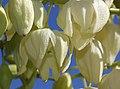 YUCCA (yucca whipplei) (6-8-07) res cyn -1 (536434120).jpg