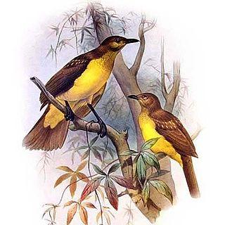 Yellow-breasted bowerbird species of bird