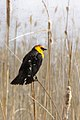 Yellow-headed Blackbird (5719821680).jpg
