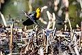 Yellow-headed blackbird - Xanthocephalus xanthocephalus (b805ee3b-d4f2-4361-a7aa-4a24cfa0eabf).jpg