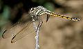 Yellow-tailed Ashy Skimmer (Potamarcha congener) W IMG 3819.jpg