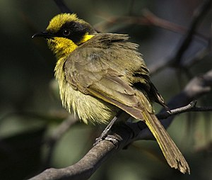Yellow-tufted honeyeater durakai08.jpg