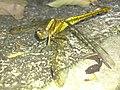 Yellow Eye (10283185826).jpg