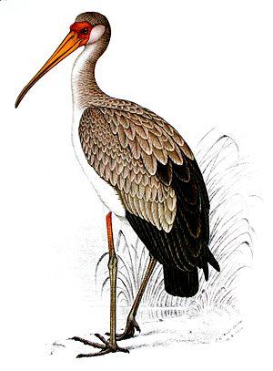 C. G. Finch-Davies - Yellow-billed stork - Mycteria ibis