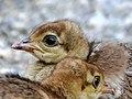 Young Peacocks (18315507592).jpg