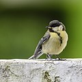 Young great tit - jonge koolmees (27475185960).jpg