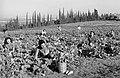 ZUCCHINI PICKING AT FIELD IN KFAR SABA. קטיף קישואים בשדה חקלאי של היישוב כפר סבא.D623-019.jpg