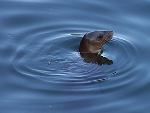 A seal sticking its head out of the water