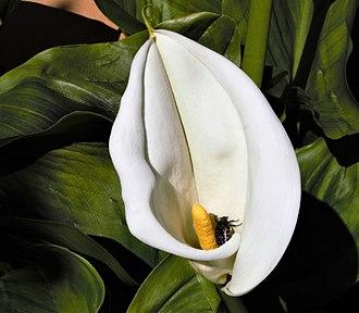 Zantedeschia aethiopica - Image: Zantedeschia aethiopica