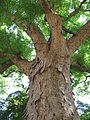 Zelkova serrata 01 by Line1.jpg