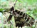 Zerynthia polyxena 13.2.53.jpg