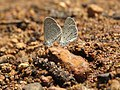 Zizula hylax Fabricius, 1775 – Tiny Grass Blue at Aralam Wildlife Sanctuary Jan 2016 (8).jpg
