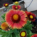 'Arizona Red Shades' Gaillardia IMG-0513.jpg