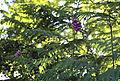 'Digitalis purpurea' Foxglove roadside verge vegetation at Nuthurst, West Sussex, England ~.JPG