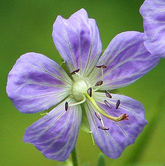 Geranium pratense - Geranium pratense 'Mrs. Kendall Clark' showing flower detail