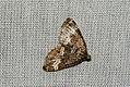 (1803) Small Rivulet (Perizoma alchemillata) (3748735362).jpg