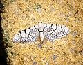 (1823) Netted Pug (Eupithecia venosata) (34599973110).jpg