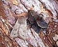 (2185) Lead-coloured Drab (Orthosia populeti) and (2188) Clouded Drab (Orthosia incerta) (33332259281).jpg