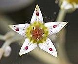 (MHNT) Graptopetalum paraguayense Flower.jpg