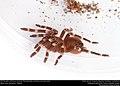 (Pet) Brazilian whiteknee tarantula (Theraphosidae, Acanthoscurria geniculata) (23486438278).jpg