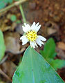 (Tridax procumbens) flowers at Madhurawada 01.JPG