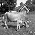 Živina na paši v Spodnjem Doliču 1963 (2).jpg