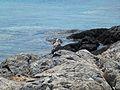 Πανίδα της Νήσου Δίας - Dia island fauna.jpg