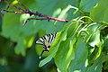 Πεταλούδα - panoramio (1).jpg