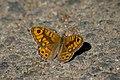 Буроглазка Мегера (Краеглазка мегера) - Wall Brown - Lasiommata megera - Mauerfuchs (21493780080).jpg