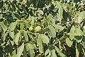 В Греции есть всё, даже грецкие орехи. Sikia (Sykea). Lasithi. Crete. Greece. Июль 2013 - panoramio.jpg