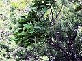 Гомель. Парк. Дуб черешчатый. Фото 05.jpg