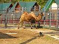 Двугорбый верблюд Гродно 2.jpg