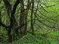 Зелень весны - panoramio.jpg