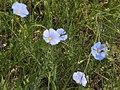 Квіти в Михайлівській цілині.JPG