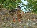 Київ, птахи на Крістеровій гірці 02.jpg