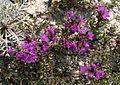 Крейдяні відслонення Thymus calcareus2.jpg
