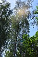 Парк Березовий гай по вулиці Вишгородській у Києві. Фото 2.jpg