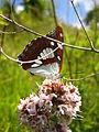 Пеперутка на горски чај.JPG