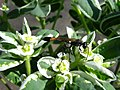 Риюча оса Ammophila sp. на квітах молочаю Euphorbia marginata.jpg