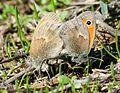 Сенница обыкновенная (Малый желтый сатир, Сенница Памфил) - Coenonimpha pamphilius - Small heath - Дребнооко сатирче - Kleine Wiesenvögelchen (30975304563).jpg