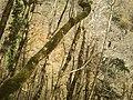 Тисо-самшитовая роща (300 га) 1.jpg
