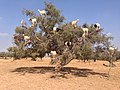 الماعز زيت شجرة.jpg